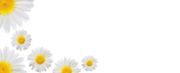 PAPATYA VE CİLT  Anne eli gibi bir şey bu papatya… Yumuşatıyor, sakinleştiriyor huzur veriyor. Tabiat çiçeğin içerisine kendi kimyasını yerleştirmiş. Papatyanın uçucu yağının (oleum chamomillae) içerisinde aminoasitler ve yağ asitleri var. Papatya çiçeğinin içeriğindeki etken maddeler cildinize acil yardıma koşuyor.