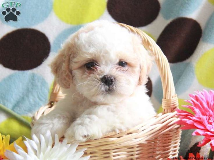 Beulah , Shichon puppy for sale in Strasburg, Pa - Greenfield Puppies