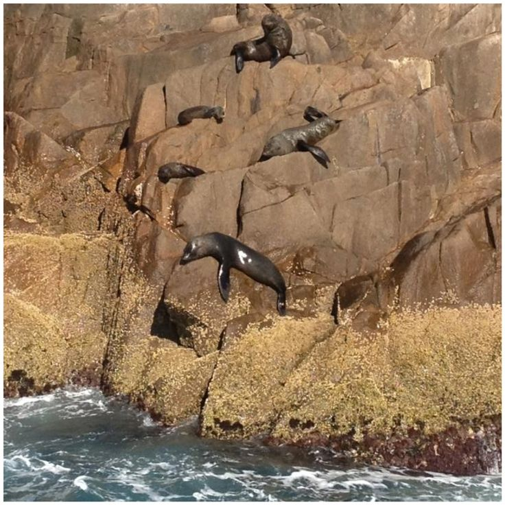 Australian Fur Seals on Cabbage Tree Island, Port Stephens