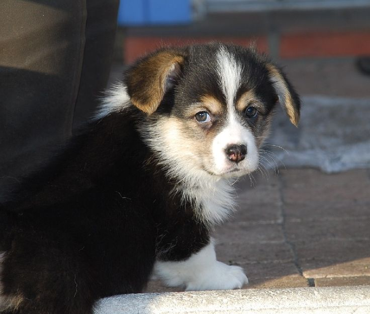 Gaylord, Cute Pembroke Welsh Corgi puppy - from Pays aux Longs Hivers