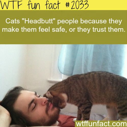 """Why Cats """"Headbutt"""" people -WTF fun facts"""