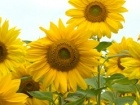 Einjährige Blumen: Von Bartfaden bis Zinnie