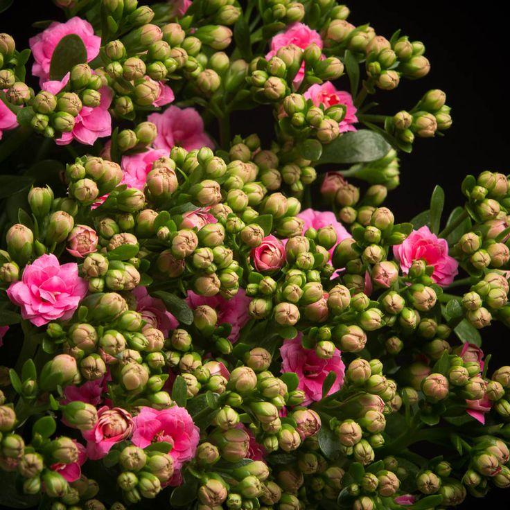 Certi Kalanchoe Sweet Pink, roze kalanchoe, snij kalanchoe, boeket, Certi Pioenrozen, roze pioenrozen, boeket, bloemen, Certi #Bloemen, #Planten, #webshop, #online bestellen, #rozen, #kamerplanten, #tuinplanten, #bloeiende planten, #snijbloemen, #boeketten, #verzorgingsproducten, #orchideeën