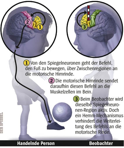 Graphic taken from Der Spiegel: http://www.spiegel.de/spiegel/print/d-20899682.html Article about mirror neurons