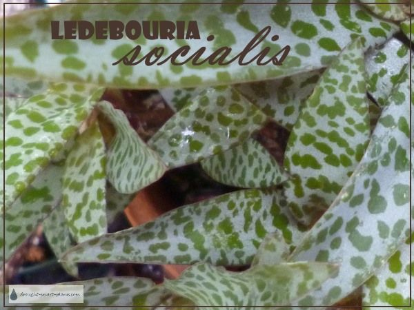 Ledebouria socialis - the leopard squill - a super cute little bulbous plant with spotted leaves... Indoor House Plants | Bulbs
