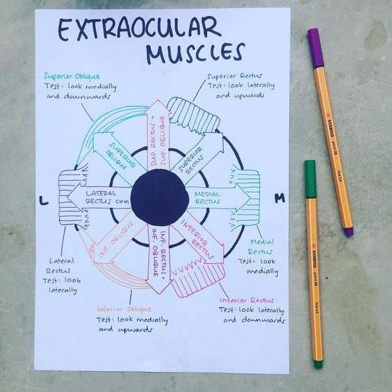 4d2b56ade59 Extraocular muscles Anatomia Ocular