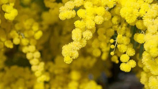 How to grow wattle: This Australian native plant will turn up the sunshine in your yard this spring – let's spin the wattle and meet your match!