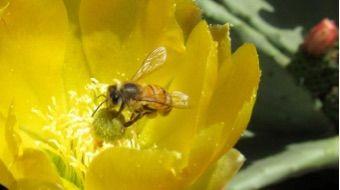 Opuntia - Clarens News