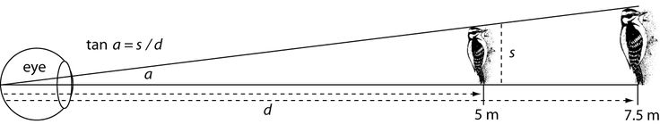 Richard Owen Prum | Interspecific social dominance mimicry in birds (2014) | Visual angle, a, is given by tan a = s/d where s is the linear size and d is the distance to the object (Palmer, 1999). An identical visual angle can be created by two objects of different sizes at different distances from the observer. A 16 cm Downy Woodpecker at 5 m distance and a 24 cm Hairy Woodpecker at 7.5 m will both subtend a visual angle of 1.832° (illustration not to scale).