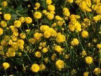 RANUNCULUS acris 'Flore Pleno' Meadow Buttercup