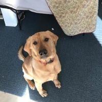 Warsaw, Indiana - Golden Retriever. Meet Bigbee, a for adoption. https://www.adoptapet.com/pet/20091745-warsaw-indiana-golden-retriever-mix