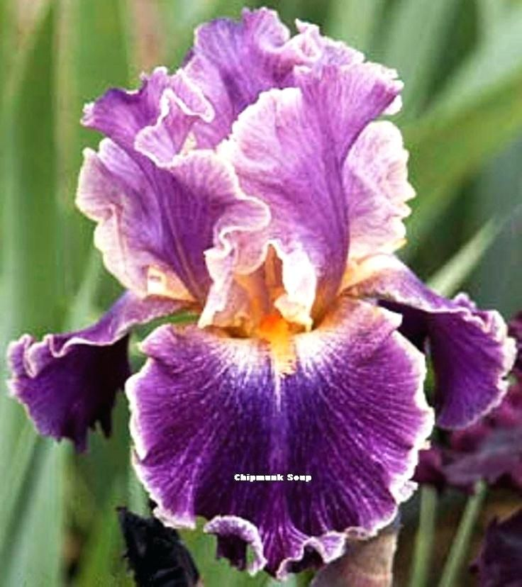 Where To Plant Iris Flowers Plant Details Plant Iris Flowers Iris Flowers Planting Bulbs Flowers