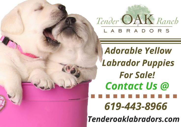 Yellow Labrador Puppies For Sale in San Diego