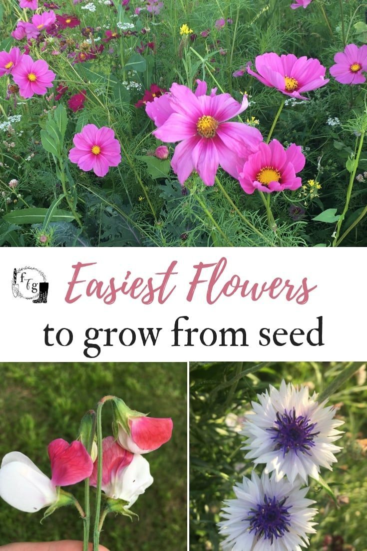 Easy Flowers To Grow From Seed Family Food Garden Easiest Flowers To Grow Growing Seeds Flower Seeds