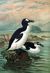 The Great Auk (Pinguinus impennis) was a large, flightless bird of the alcid family that became extinct in the mid-19th century