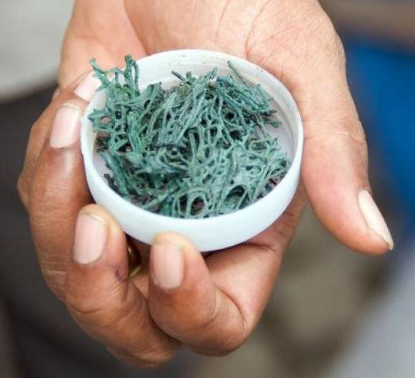 spiruline l'algue riche en protéines