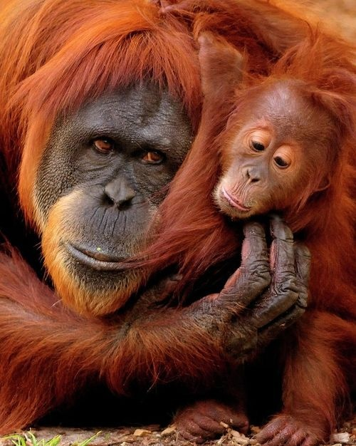 Orangutan...mommy & baby I think poachers should be boiled in oil