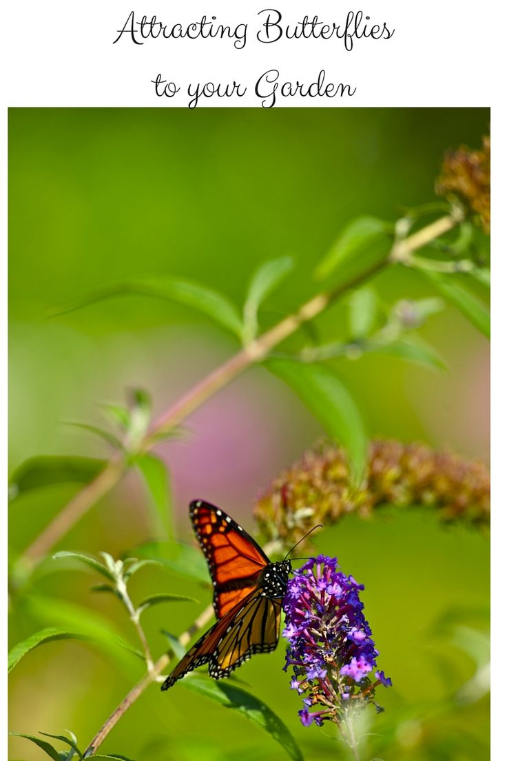 Attracting butterflies is one of the best things about a garden. Learn tips to attract these beautiful winged creatures to your garden this year.