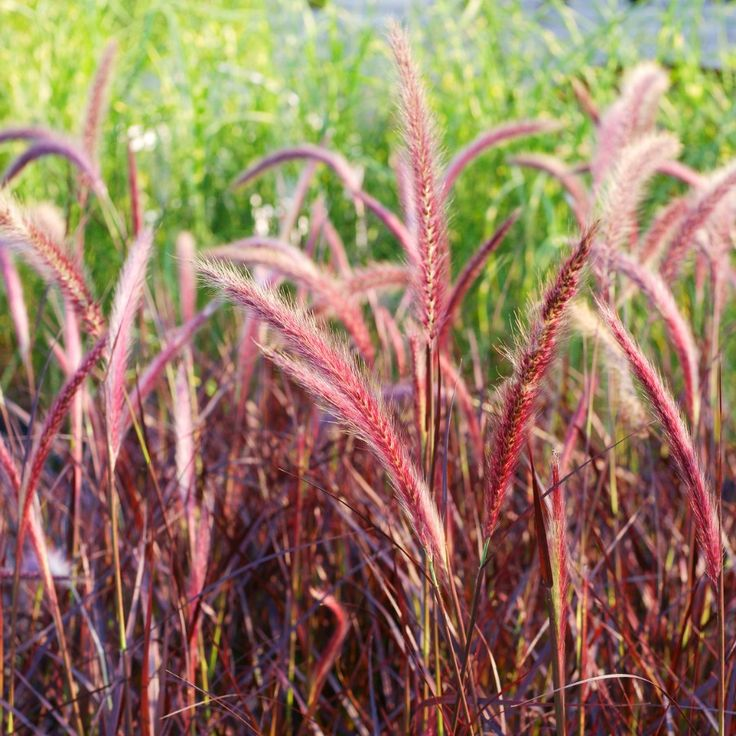 25 best ideas about pennisetum setaceum on pinterest for Ornamental grass with purple plumes