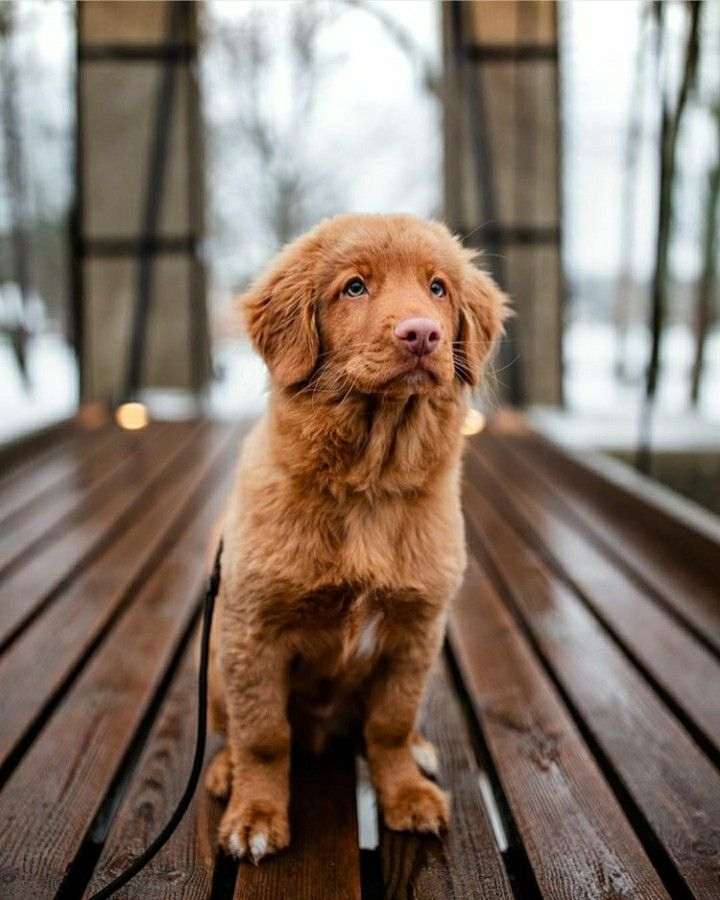 Pin By Ava Harrington On Dog Nova Scotia Duck Tolling Retriever