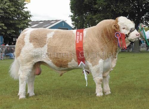 beef cattle breeds // A beautiful Simmental bull