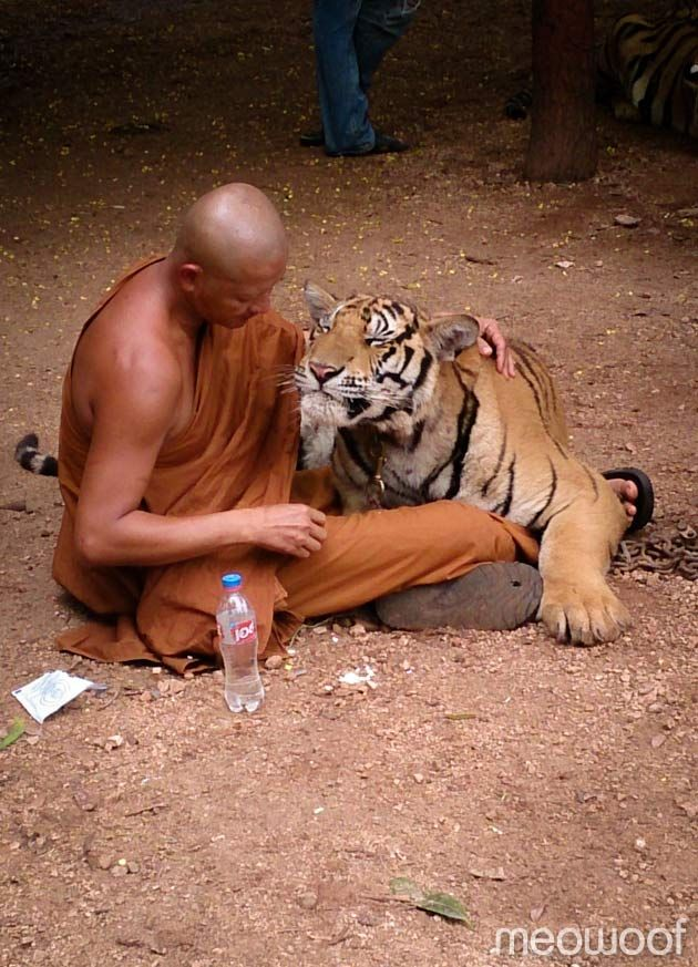 Tiger temple, Thailand.  Thailand's Tiger Temple, two hours drive from Bangkok in the Kanchanaburi province. Since 1999, Monks have taken care of the tigers rescued from poachers, having around 17 fully grown tigers and cubs housed within the temple grounds.