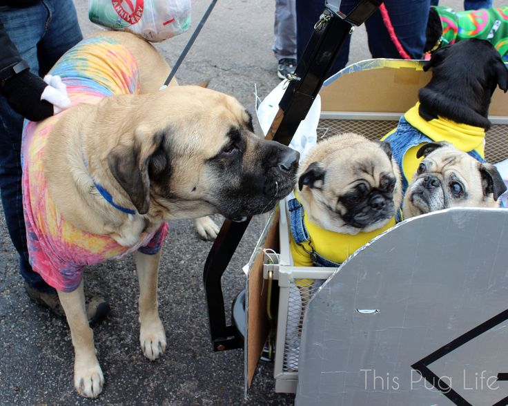 """Meeting a """"giant pug"""" at the Beggin' Pet Parade"""
