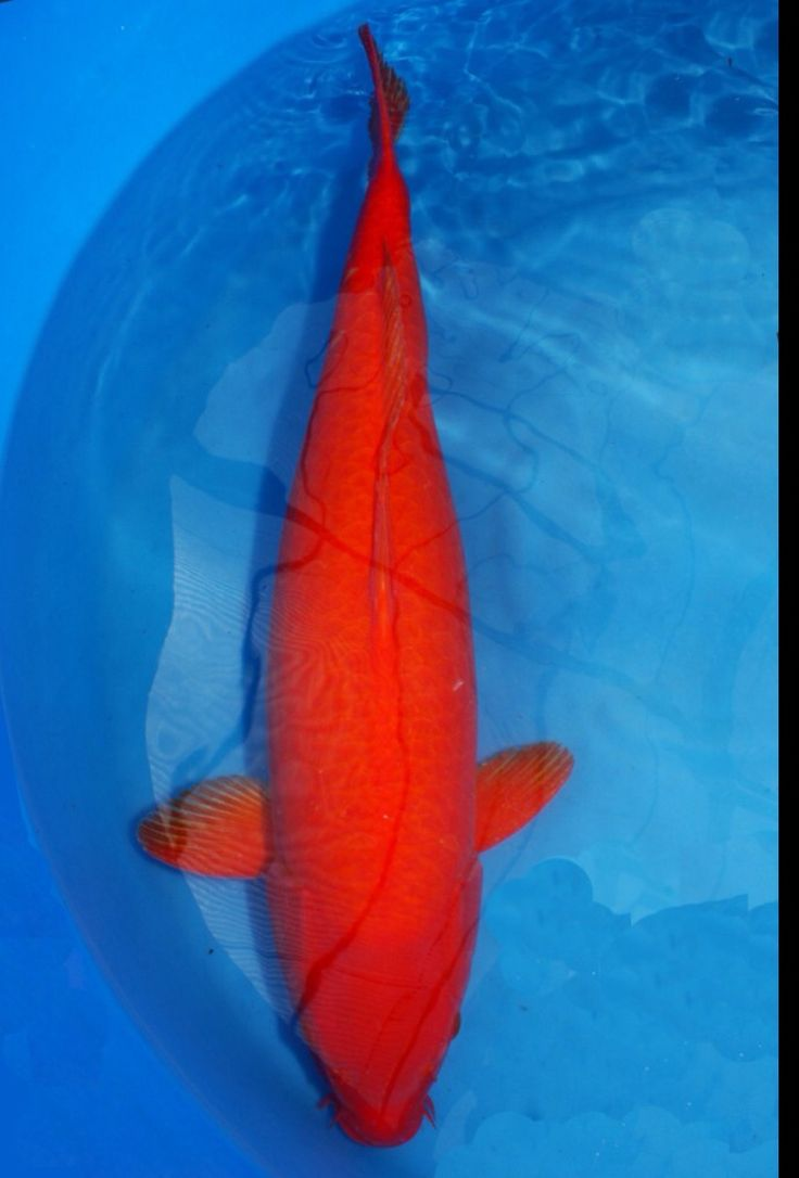 17 best images about koi only no goldfish on pinterest for Rare koi colors