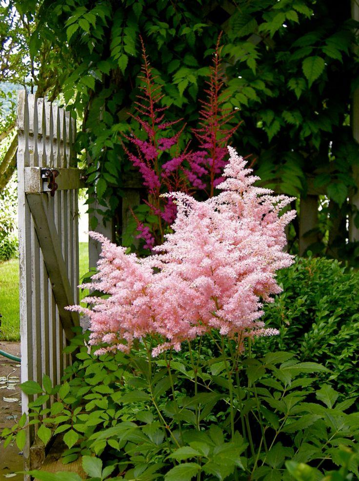 нежная астильба для сада