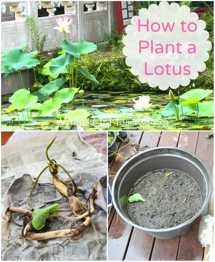 how to plant a lotus