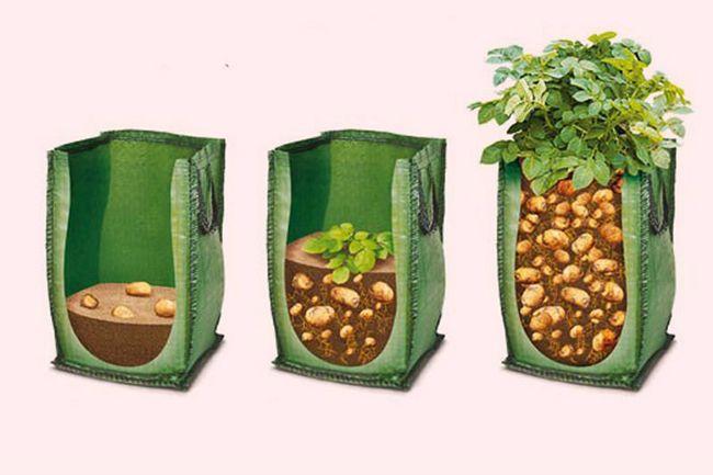 Необычная посадка картофеля в мешках.