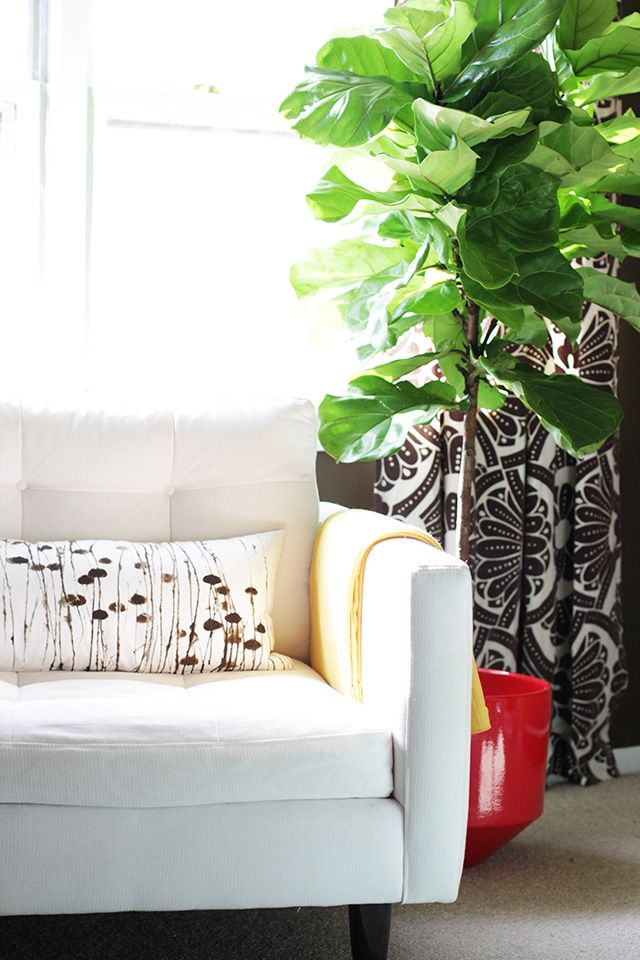 Fiddle leaf fig tree or ficus lyrata
