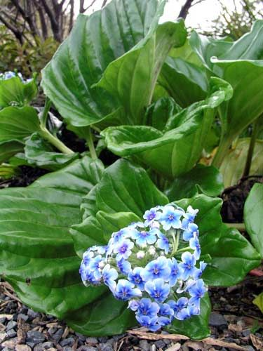 Chatham Island forget-me-nots * Grows to 40cm tall and 40cm wide  * Dramatic large fleshy foliage on this plant creates year round interest, with its crowning glory being the heavenly blue flowers produced in Spring - a stunning sight. Quick growing in the right site.  * Enjoy rich, moist but well drained soil  * Needs a cool site hidden from the sun  * Frost tender and is coastal tolerant  * Native to New Zealand
