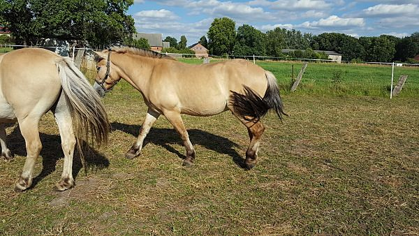Lieber 3 jähriger roher Wallach - Pferde kaufen in Goldbeck - pferdeanzeiger.at