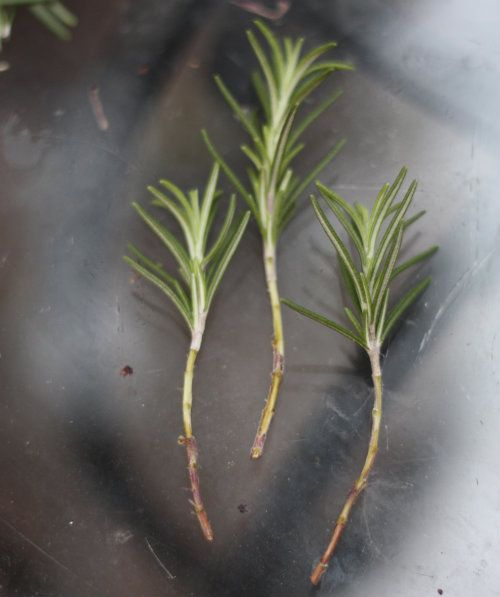 How To Propagate Grow Rosemary Cuttings