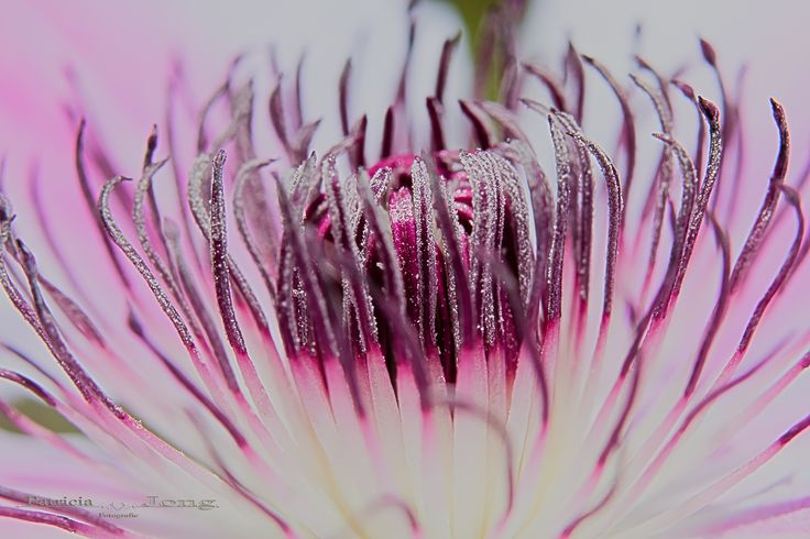 Photograph clematis macro by patricia jong on 500px