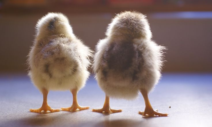 Funny Clean Names: The 25+ Best Funny Chicken Names Ideas On Pinterest