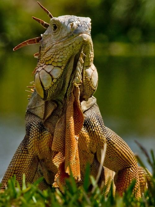Beautiful image of a green iguanas head.