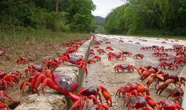 L'invasion des crabes: Au large des côtes australiennes de l'île Christmas, la migration annuelle de près de 120 millions de crabes rouges crée tout un spectacle quand ils retournent à l'océan.