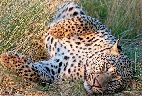 Leopard (by Rene van der Schyff)Big Cat, Beautiful Cat, Animal Lady, Vans Of, House, Rene Vans, Bi Rene, Big Kitty, Der Schyff