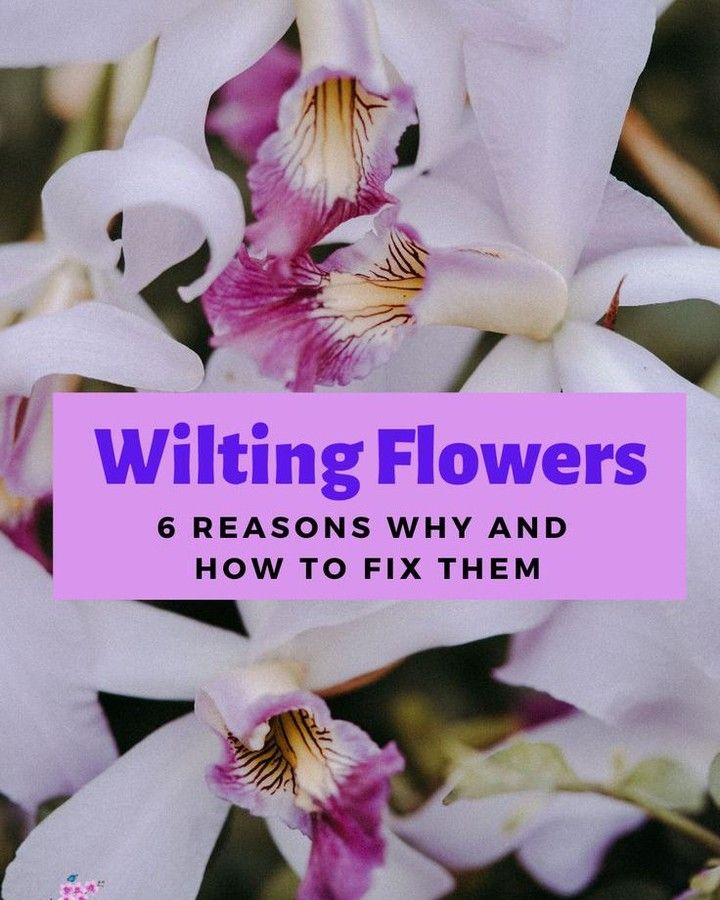 Wilting Orchid Flowers Always Make A New Orchid Grower A Bit Nervous How Do You Now When Wilted Orchid Flowers Are Normal In 2020 Wilted Flowers Orchid Flower Orchids