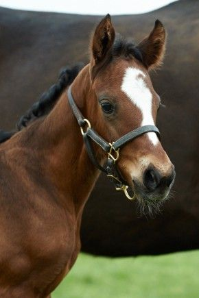 Beautiful head shot of Zenyatta's new filly by War Front, '14Z'. Photo by Kyle Acebo, May 2014.