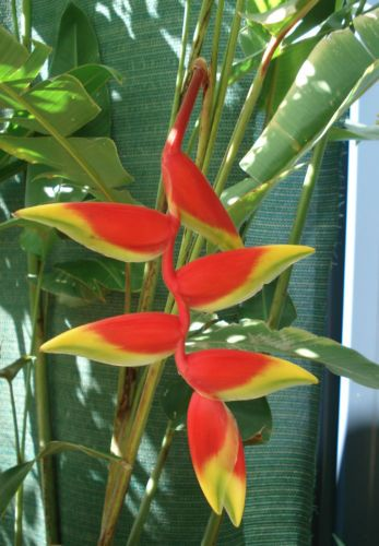 Heliconia Rostrata Parrots Beak Red Yellow Flower Ginger