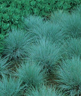 54 best images about ornamental grasses on pinterest for Blue ornamental grass varieties