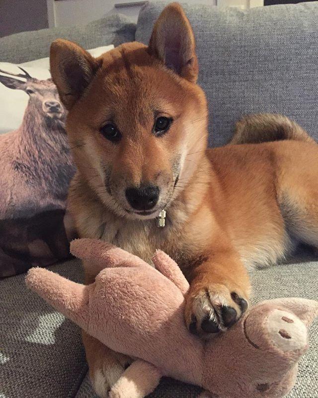I ❤️my piggy  #shibainu #shiba #inu #dogsofinstagram #instadog #szczeniak #pig #piggy #shibalove #shibagirl #instashibainu #dog# #doggy #doge #redshibas #puppy #piesel #pieseł #fox #favtoy #funny #funnypictures #furbaby
