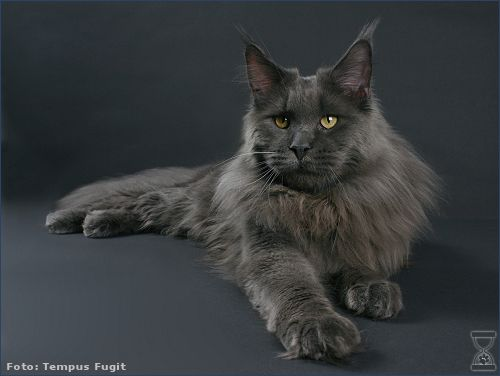 Maine Coon, Blue Solid (a). Coonattack Cross the Water