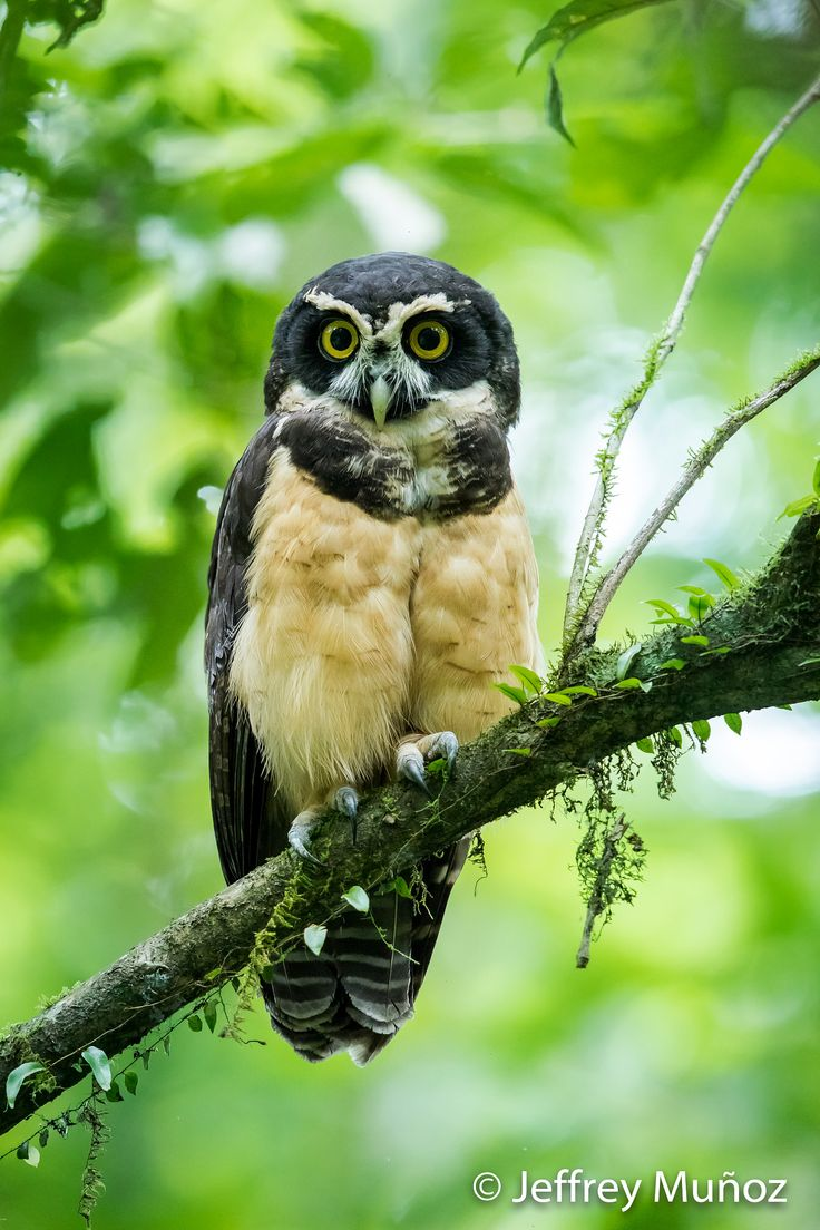 Spectacled Owl - one of the most beautiful owls of Costa Rica, live the experience with Distinctive Expeditions.