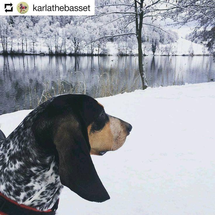 Photo de MARGIE KARLA d'An Naoned 💜🎿❄ qui réside en Suisse 🇨🇭 Femelle Basset bleu de Gascogne née le 01/12/16 (Houston d'An Naoned x Hamio d'An Naoned) 📷 Suivez toutes ses aventures sur #instagram @karlathebasset  #basset #bbg #bassetbleudegascogne #doglife #snow #switzerland #schweiz #dog #chien #neige #pet #cani #hund #dogpics #doginsnow #dogportrait #snowpics #suisse #cute #karlathebasset