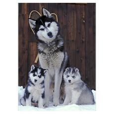 Siberian Husky sitting with two puppies in snow Poster