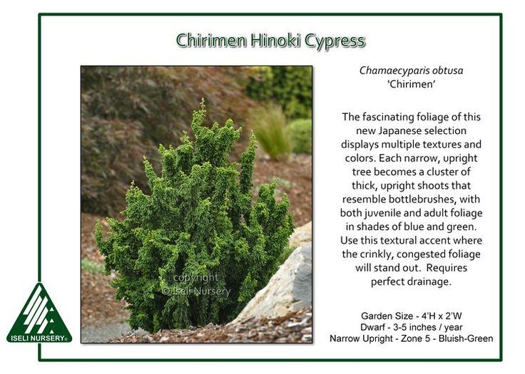 Chamaecyparis obtusa Chirimen My Secret GardenMiniature GardensContainer PlantsLive